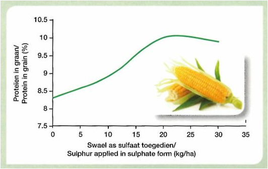 Sulphur nutrition enhances the protein content of maize. 150 kg of nitrogen were applied per ha. The maximum yield was 8 ton maize grain per ha. Rasheed and Mahood, 2004.
